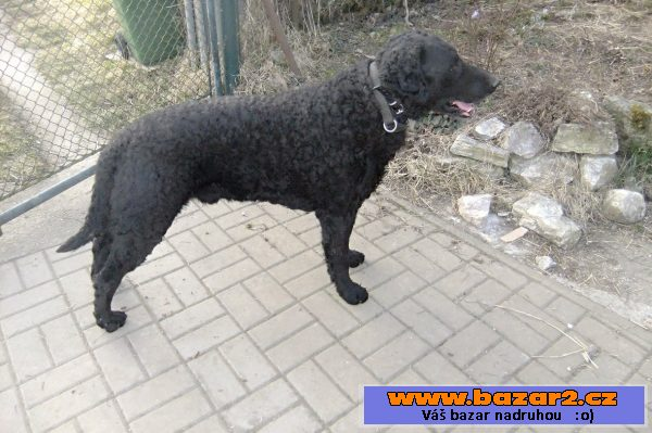 Štěňátka curly coated retrievera
