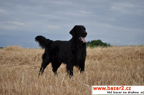 Štěňátka Flat Coated retrievera