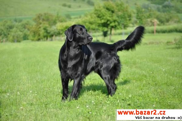 Krytí Flat Coated Retrieverem